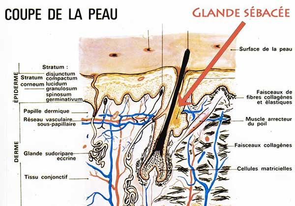 glande sébacée du poil