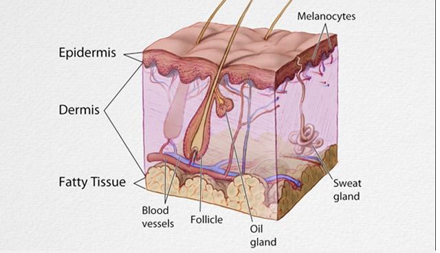 poil et coupe transversale de la peau